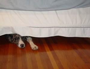 Собака боится салюта выстрела страхи у собак