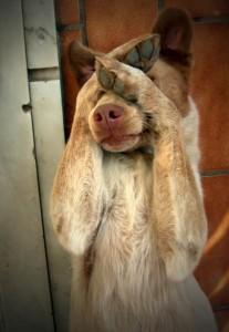 Трусливая собака боится салюта аффективный страх
