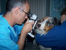 офтальмологическое обследование собак