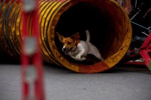 Аджилити Мир собак