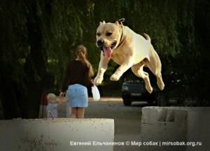 амстафф Трет мастер паркура для журнала Мир собак