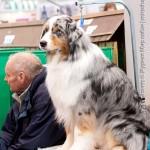 Crufts 2011 Журнал Мир собак Австралийская овчарка