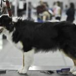 Журнал Мир собак.Евразия 2011. Австралийская овчарка