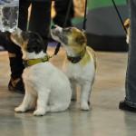 Журнал Мир собак.Евразия 2011. Джек расселл терьер