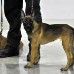 Журнал Мир собак.Евразия 2011. Щенок малинуа