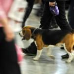 Журнал Мир собак.Евразия 2011. Бигль