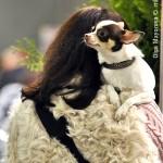 Журнал Мир собак.Евразия 2011. Чихуахуа
