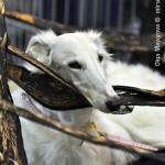Журнал Мир собак.Евразия 2011. Русская псовая борзая