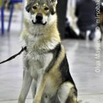 Журнал Мир собак.Евразия 2011. Чешский влчак