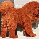 Big Splash - самый дорогой щенок в мире