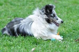 Фотоконкурс Лето, ах, лето. Журнал Мир собак №6 - 2011 шелти