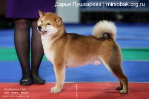 Стойка собаки в ринге выставка собак дог шоу