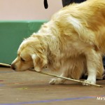Собака-поводырь голден ретривер журнал о собаках Мир собак