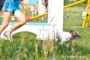 Аджилити гладкошерстный фокстерьер журнал о собаках Мир собак