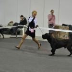 Выставка собак в Нижнем Миллион друзей 2011 кане корсо