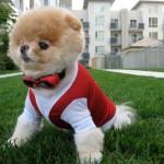 Boo dog собака Boo самая милая собака в мире