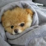 Boo dog собака Boo самая милая собака в мире facebook