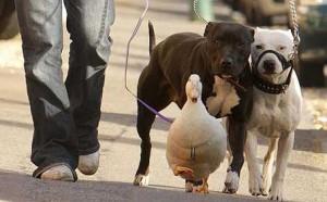 Утка и собаки стаффы