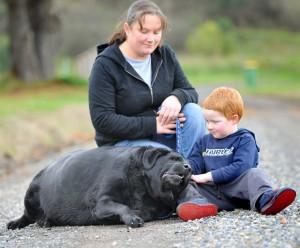 Ожирение у собак очень толстая собака лабрадор