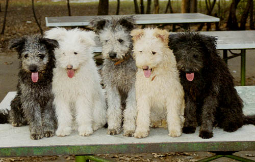 Пуми редкие породы собак