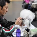 Мастер-классы Тошинори Омура по грумингу пуделя