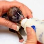 Самая маленькая собака в мире Бейонсе