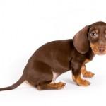Такса гладкошерстная фото портрет щенок