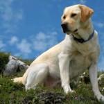 Ларбрадор ретривер фото Мир собак