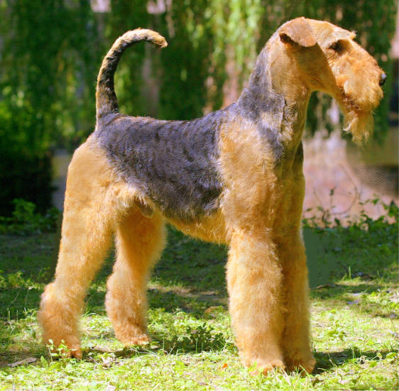 Airedale Terrier Dog Breed  Facts and Personality Traits