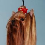 Груминг йорка, как сделать топ-нот йорку мастер-класс в фотографиях