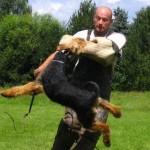 Эрдельтерьер, эрдель, Airedale Terrier защита