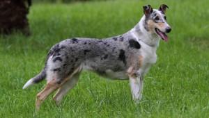 Колли короткошерстный гладкошерстный описание породы с фото Мир собак журнал