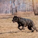 Кане корсо Cane corso описание породы с фото журнал Мир собак
