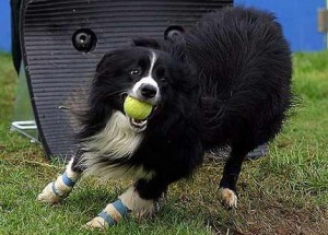 Флайболл собака играет в мяч журнал Мир собак