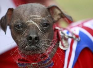Mugly Магли самая уродливая собака в мире