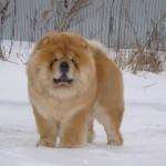 Чау-чау (Chow-chow), Мир собак