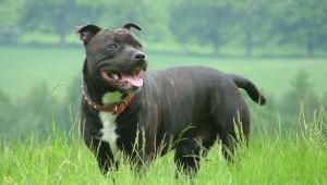 Стаффордширский бультерьер стаффи staffordshire bull terrier описание породы