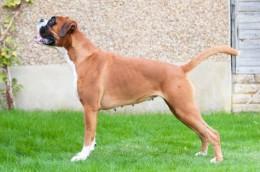 Немецкий боксер Deutsche Boxer описание породы с фото стандарт