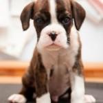 Немецкий боксер Deutsche Boxer описание породы с фото стандарт щенок