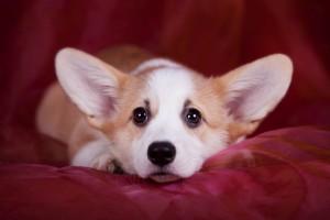 Вельш корги пемброк щенок