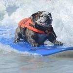 Собаки на серфинге серфингисты