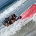 Собака-серфингист боксер
