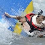 Собака-серфингист амстафф стаффордшир