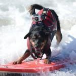 Собака-серфингист метис
