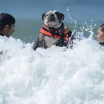 Собака на серфе английский бульдог