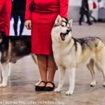 Выставка Россия 2012 хаски