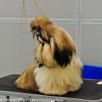 Выставка Россия 2012 щенок ши-тцу