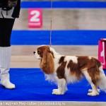 Выставка собак Россия 2012 кавалер кинг чарлз спаниель