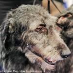 Выставка собак Россия 2012 ирландский волкодав