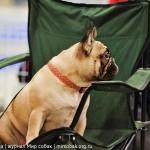 Выставка собак Россия 2012 французский бульдог